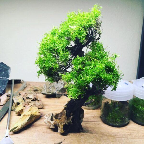 moss ağacı
