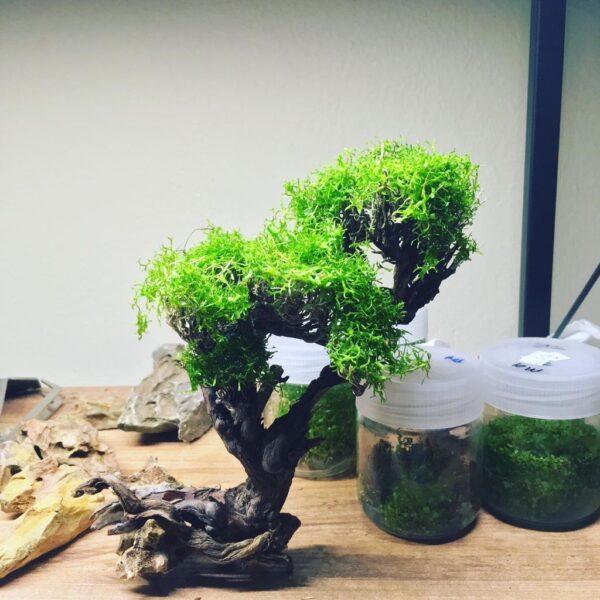 MT09 (Moss Ağacı)