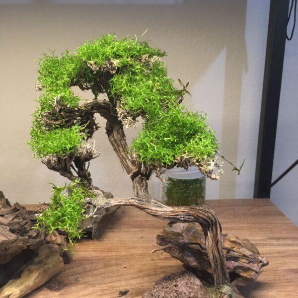 Moss Ağacı(MT13)
